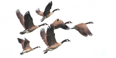 Five flying Canadian Geese following the leader